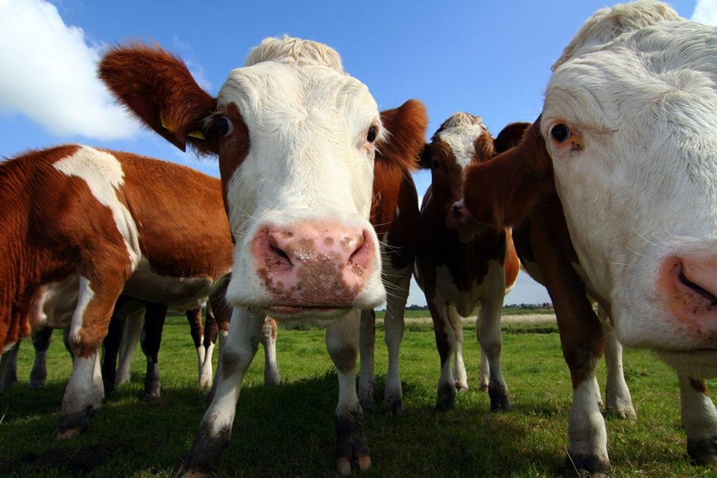 Pongauer Almrind Herde Shutterstock