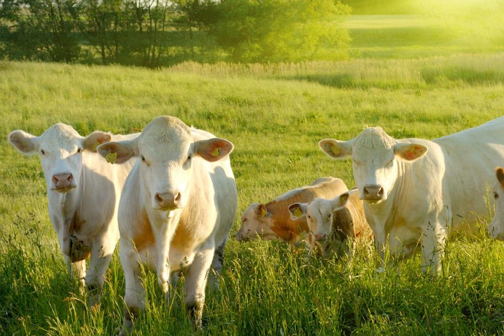 Pongauer Almrind Weisse Herde Shutterstock